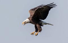 Bald Eagle Flying (Simon Stobart - Back But Way Behind) Tags: florida unitedstates us bald eagle flying haliaeetus leucocephalus naturethroughthelens