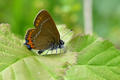 Black Hairstreak ... Satyrium pruni (AndyorDij) Tags: blackhairstreak satyriumpruni kettonquarrynaturereserve ketton kettonnaturereserve england rutland uk unitedkingdom andrewdejardin 2018 lepidoptera insect butterfly