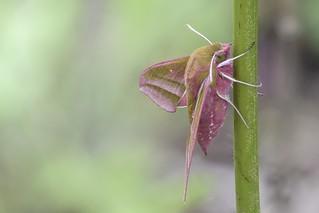 Elephant Hawk-moth ( Deilephila elpenor )