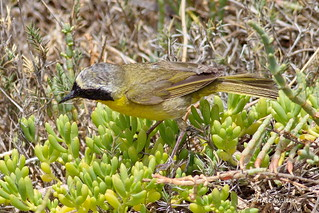 Common Yellowthroat, Bolsa Chica, CA CQ4A3696