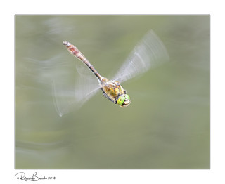 Downy Emerald dragonfly in flight (Cordulia aenea)