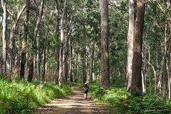 Green Gully Track: Kunderang Trail 1 (NettyA) Tags: australia greengullytrack nsw oxleywildriversnationalpark bushwalk bushwalking day4 hiking trees eucalyptus eucalypts track bushwalkers hikers kunderangtrail forest