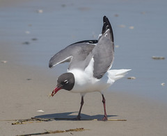 Catching Crabs (tresed47) Tags: 2018 201805may 20180515njwetlandsbirds birds canon7d content folder gull laughinggull may newjersey peterscamera petersphotos places season spring stoneharbor takenby us ngc