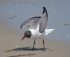 Catching Crabs (tresed47) Tags: 2018 201805may 20180515njwetlandsbirds birds canon7d content folder gull laughinggull may newjersey peterscamera petersphotos places season spring stoneharbor takenby us