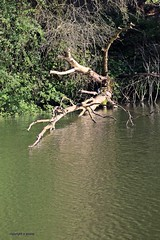 J78A1091 (M0JRA) Tags: birds flight flying wildlife rats walks gardens parks fields trees lakes ponds ducks swans rspb