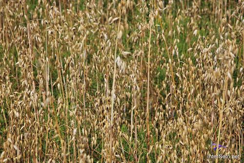 Пшениця, жито, овес InterNetri  Ukraine 041