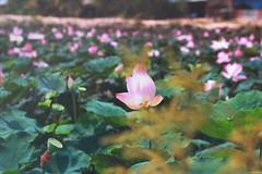 Sen, Trảng Bom, Đồng Nai, Việt Nam. (Thuytien Celia Ng.) Tags: photography vietnam flowers sen lotus beauty
