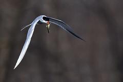 TernWithPerchTwo (Rich Mayer Photography) Tags: tern perch fish bird birds animal animals nature wild wildlife avian fly flying flight nikon