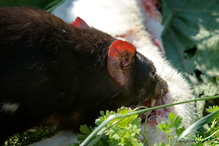 tasmanian devil eating rabbit