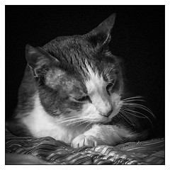 Pensive (Timothy Valentine) Tags: home blackandwhite 0618 quinnomannion cat happycaturday portrait 2018 eastbridgewater massachusetts unitedstates us