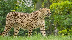 Le Guépard - Cheetah (YᗩSᗰIᘉᗴ HᗴᘉS +17 000 000 thx) Tags: cheetah guépard safari pairidaiza nature green wild animal hensyasmine namur belgium europa aaa namuroise look photo friends be wow yasminehens interest intersting eu fr greatphotographers lanamuroise tellmeastory flickering