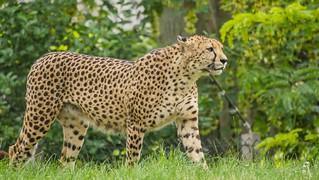 Le Guépard - Cheetah
