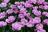 Tulips (YY) Tags: lisse keukenhof southholland netherlands purple violet flowers