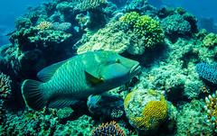 (Fifinator) Tags: freediving napoleon wrasse great barrier reef underwater ikelite sl2 snorkeling coral