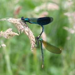 """Calopteryx splendens"" (bugman11) Tags: dragonfly dragonflies damselfly damselflies bug bugs calopteryxsplendens weidebeekjuffer insect insects animal animals fauna canon 100mm28lmacro nature boxtel kampina nederland thenetherlands bokeh macro 1001nightsmagiccity 1001nights"