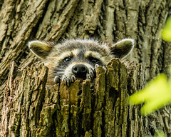 Home Sweet Home... (ragtops2000) Tags: home racoon juvenile tree hole spring staring peaceful forest exciting eyes markings detail