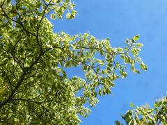 Wedding cake tree (Durley Beachbum) Tags: odc tree cornus bournemouth june