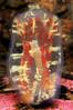 ScotlandWest-201708-LochFyne-StCatherines-Reef2-18-Tunicate-GasMantleSeaSquirt-Red-CorellaParallelogramma (Tony J Gilbert) Tags: lochfyne stcatherines scotland scubadiving marine diving marinefish nikond300 60mmlens 105mmlens underwater underwaterphotography travel travelogue scottishtravel scottishscubadiving scottishlandscapes scottishwildlife