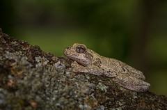 Beautiful Boy (Kathy Macpherson Baca) Tags: animal animals frog earth wildlife forest gray tree amphibian planet hop preserve tadpole world nature woods spring croak