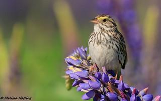 Savannah Sparrow (Passerculus sandwichensis) - Richmond, BC