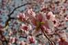 Fleurs printannières (AlainC3) Tags: fleurs flowers printemps spring nikon d90 nature plante rose pink vert green bokeh blur flou