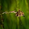 Spring Board (Portraying Life, LLC) Tags: dbg6 hd14tc k1mkii michigan pentax ricoh unitedstates butterfly closecrop handheld nativelighting skipper meadow grass seedhead