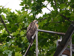 Hungry and Lonely - 1041 (rbs10025) Tags: redtailedhawk buteojamaicensis bird young fledgling grantstomb generalgrantnationalmemorial morningsideheights manhattan nyc