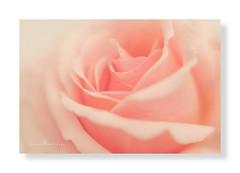 Peach rose ... (Jackie ...) Tags: vintagelens extensiontubes pentacon50