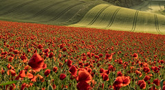 Red and Green (Eddie Hyde ARPS) Tags: poppies sunrise dawn sussex landscape