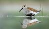 Dunlin Portrait (rmikulec) Tags: dunlin portrait bird shorebird waterfowl beach pool weed water lake ontario toronto ashbridges bay migration spring springtime animal