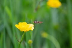 Landing (paulbyrneuk81) Tags: hampstead heath london field photo tour buttercup flowers