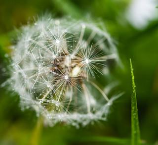 Dandelion - After The Rain