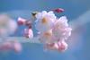 Weeping Cherry (lfeng1014) Tags: weepingcherry cherryblossoms kariyapark mississauga macro macrophotography flowermacro flower spring canon5dmarkiii ef100mmf28lmacroisusm dof depthoffield closeup bokeh lifeng