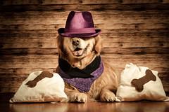 Cookie Rustler (bztraining) Tags: 118 dogchal henry odc bzdogs bztraining golden retriever 3652018