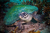 Hawksbill in Bali - 1 (Gomen S) Tags: animal wildlife nature bali indonesia asia tropical spring afternoon 2018 sony sonyflickraward rx100v underwater ocean nauticam turtle