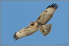 Flight Practice 8029 (maguire33@verizon.net) Tags: bif redtailedhawk bird birdofprey hawk raptor wildlife