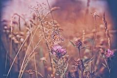 happy slider sunday (_andrea-) Tags: happyslidersunday bokeh bokehshots bokehjunkie bokehs butterfly schmetterling summervogel sonya7m2 carlzeiss objektiv mount meadow planart1450 zeiss distelfalter