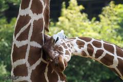 Cuddling with mommy (hespasoft) Tags: giraffe animal wildlife nature