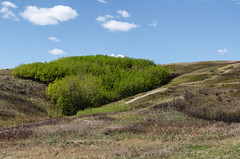 Nose Hill Bluff Spring (Bracus Triticum) Tags: nose hill bluff spring calgary カルガリー アルバータ州 alberta canada カナダ 5月 五月 早月 gogatsu satsuki fastmonth 2018 平成30年 summer may