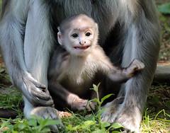 grey langur Apenheul BB2A9817 (j.a.kok) Tags: langoer langur hanuman haulmanlangoer hanumanlangoer greylangur animal africa afrika aap apenheul primate primaat zoogdier dier mammal monkey