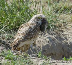 burrowing owl (Pattys-photos) Tags: burrowing owl vole pattypickett4748gmailcom pattypickett