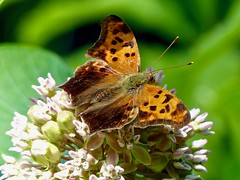 Question Mark (Polygonia interrogationis) (WRFred) Tags: butterfly nature wildlife insect maryland montgomerycounty washingtonwestquad milkweed