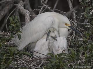 Snowy Egret Bundle