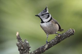 Lophophanes cristatus, _DSC4197_NKD500_Bordasbird