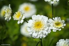 "HMM! ""All Natural"" (JSB PHOTOGRAPHS) Tags: jsb498800001 flowers nikon d3 105mm macromonday macro allnatural miniflowers on1photoraw bokehlicious bokeh"