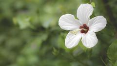 White hibiscus (- A N D R E W -) Tags: white hibiscus tamron 90mm f28 bokeh colorful spring primavera nature naturaleza green red macromademoiselle