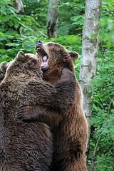 Bear's at The Wildwood Trust, Kent (Martin Jarrett) Tags: infocus highquality
