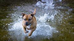 Oskar aka David Hasselhoff (GAhlgreen) Tags: staffordshire staffordshirebullterrier bullterrier bullybreed pitbull nature water bath baywatch bucannon happy dog sbt