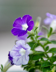 152:365 - Purple (LostOne1000) Tags: tamron70200f28 color flowers plants purple tamronlenses 3652018 365the2018edition june nature 010618 flowerpetals photography camera cy365 pentax 365challenge pentaxk1 day152365 equipment