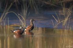 Shovelers DSC_2318 (BlueberryAsh) Tags: jacanawetlands birds australasianshoveler duck filterfeeder wetland victoria waterbird nikond500 tamron150600 water